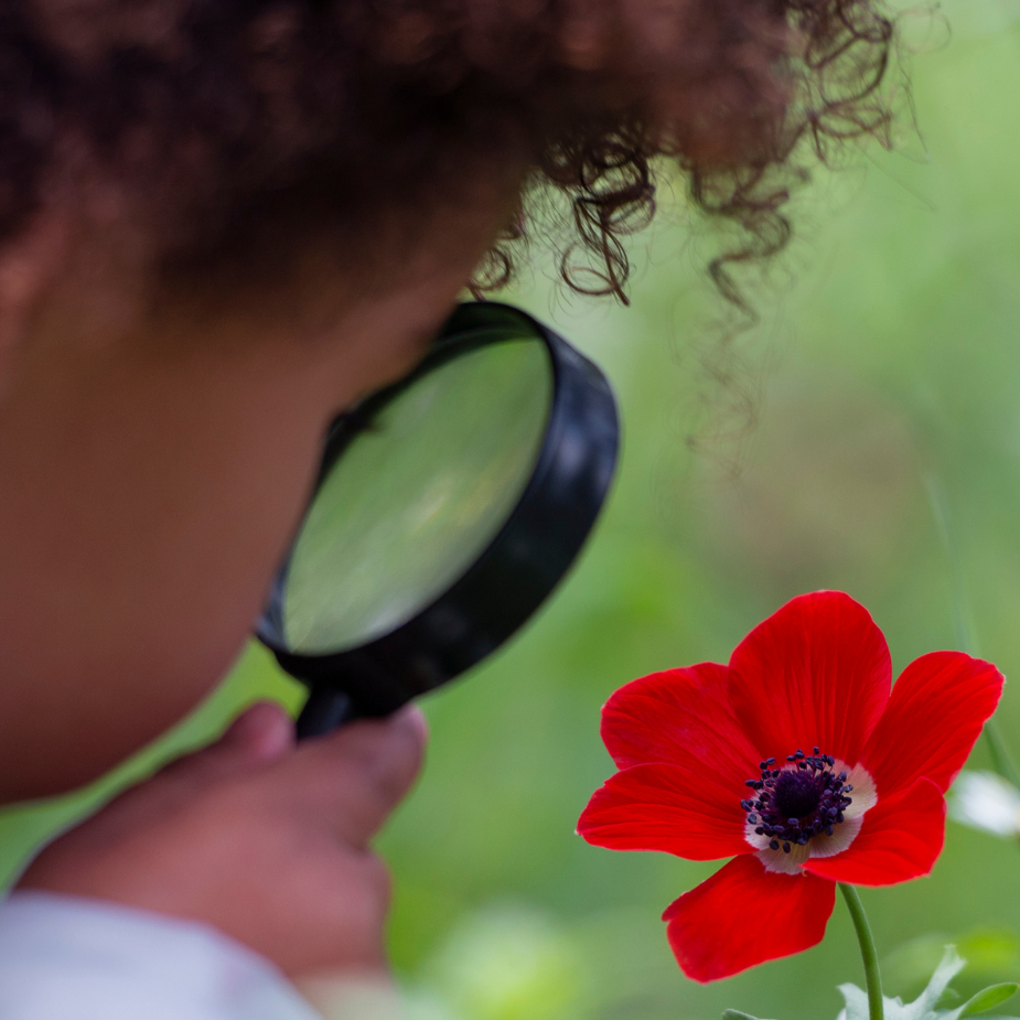 A child holds a magnifying glass and looks at a red flower